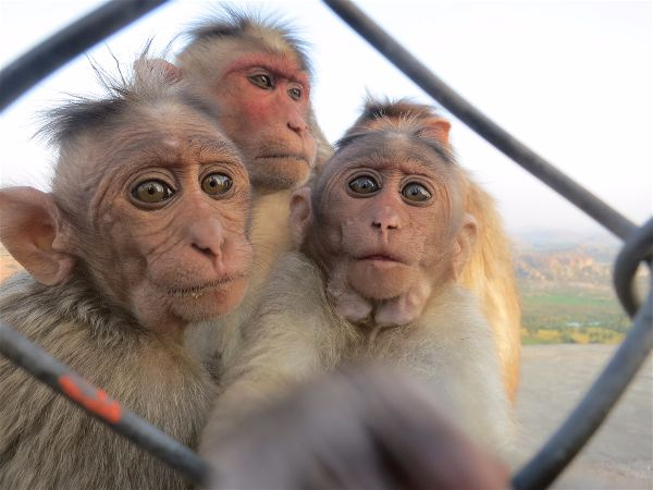 Monkeys at Anjani hill in hampi